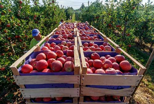 قیمت سیب قرمز در پایان سال 99