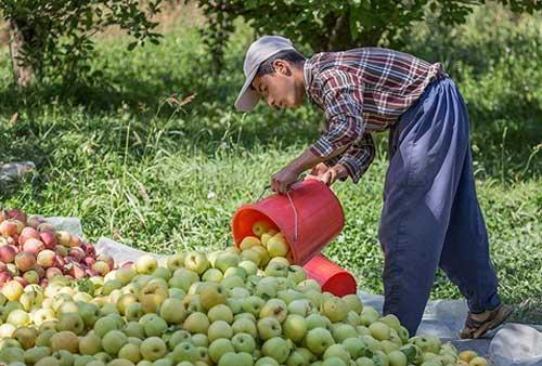 خرید عمده سیب زرد بدون واسطه