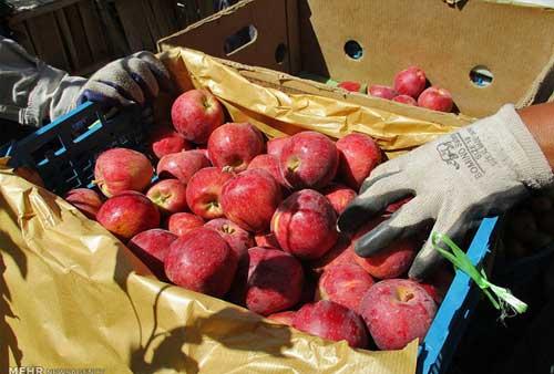 شرایط صادرات سیب قرمز