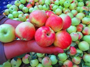 خرید سیب گلاب شفیع آبادی از تهران