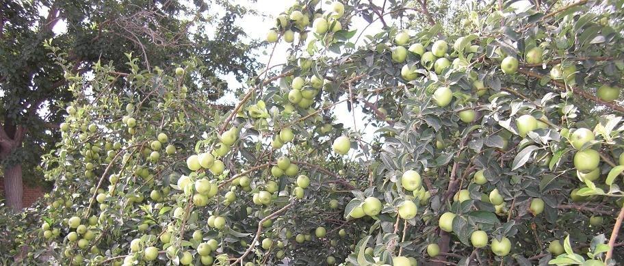 صادرات سیب لبنانی سمیرم