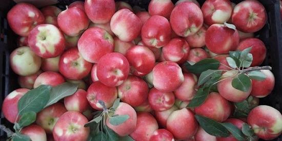 نکات مهم هنگام خرید عمده سیب قرمز