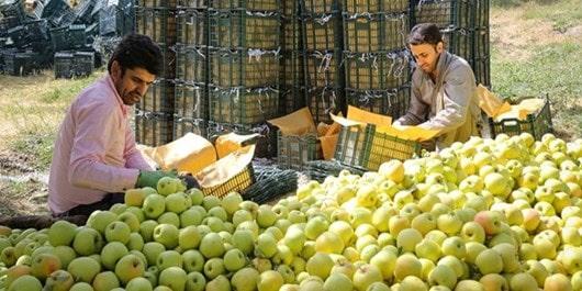 فروش سیب پا درختی ارزان