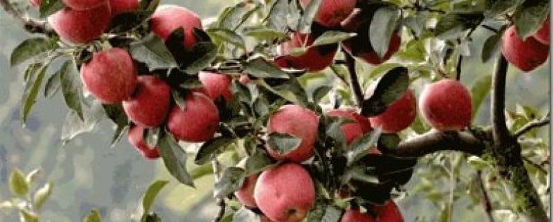 سیب رد دلیشز ایرانی