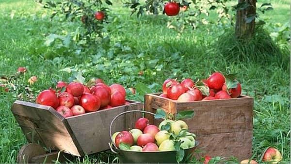 خرید سیب درختی اهر بدون واسطه