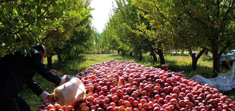 خرید و فروش سیب ارومیه