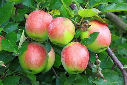 خرید سیب دو رنگ ارزان