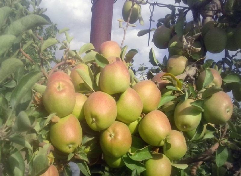خرید سیب فوجی ارزان قیمت