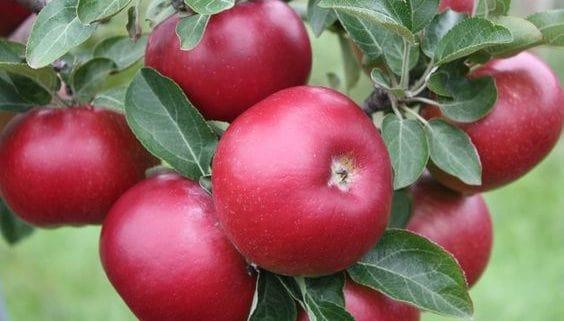 صادرات سیب لبنانی به هند