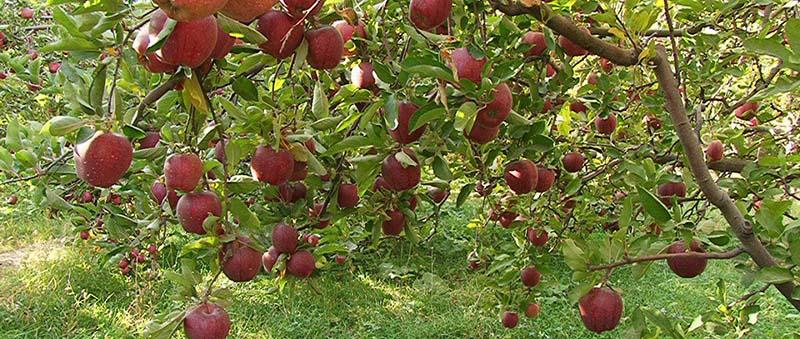برترین شهر تولید کننده سیب صادراتی در ایران
