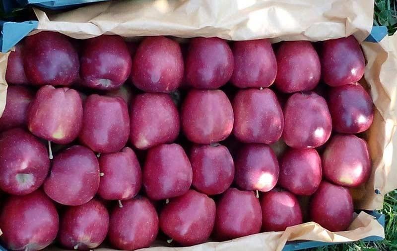 صادرات سیب درختی به اروپا