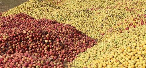 فروش سیب درجه 2 قرمز و زرد