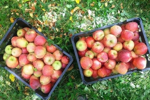 خرید سیب درختی از باغدار