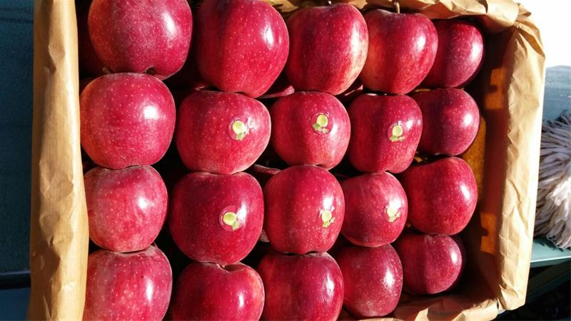 قیمت سیب پادنا در بازار
