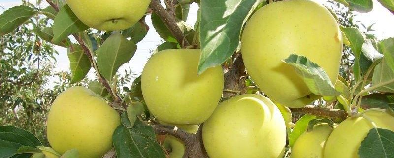 خرید سیب زرد ممتاز سردخانه ای