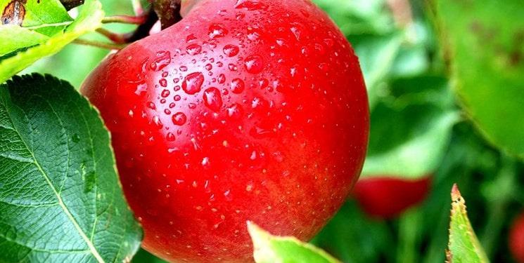 روند تغییرات قیمت سیب در سال 99