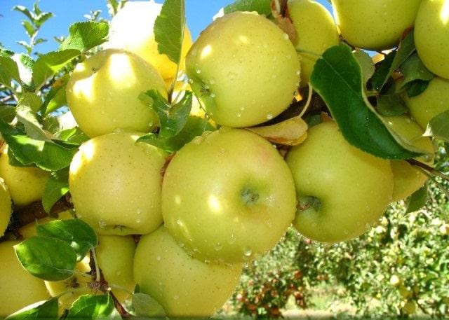 قیمت سیب زرد ماتیکی اشنویه