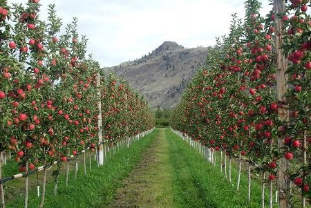 خرید سیب ارزان از باغدار