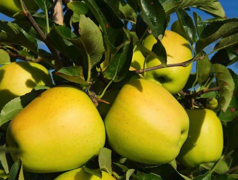صادرات سیب قرمز مراغه به پاکستان