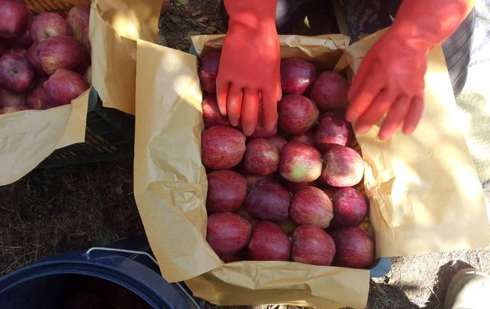 فروش سیب صادراتی قرمز