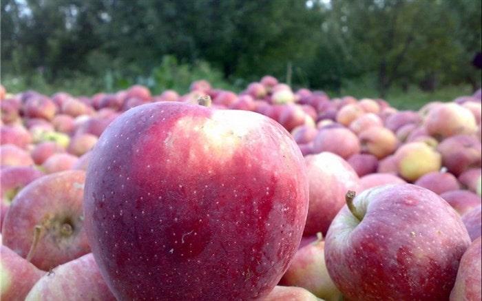 صادرات سیب مراغه به عراق