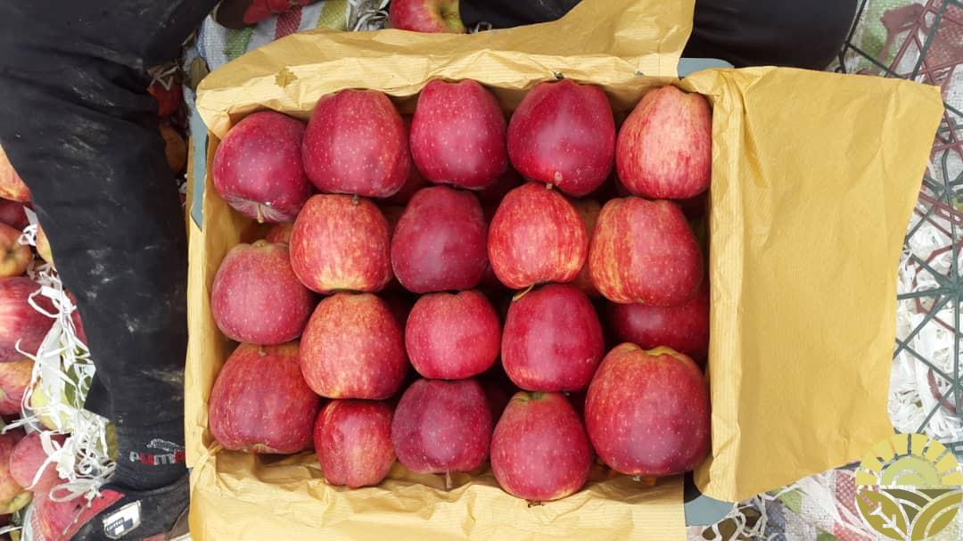 فروش عمده سیب تازه و سالم