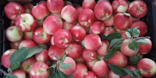 قیمت سیب بهاره