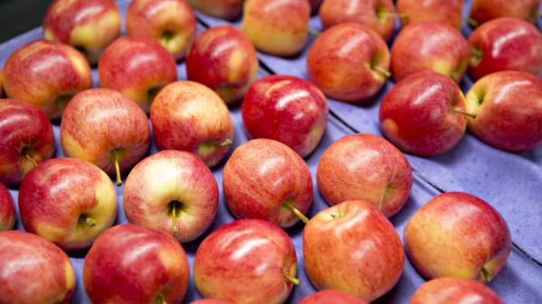 صادرات سیب درختی ممتاز مراغه