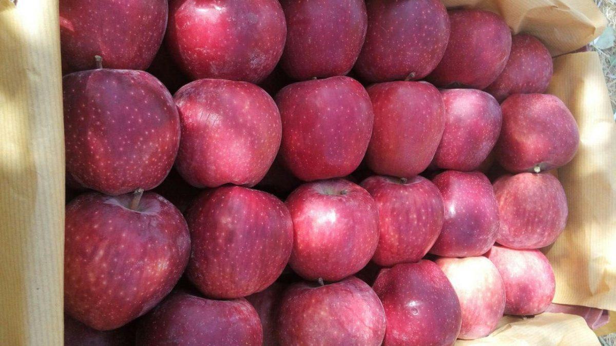خرید سیب درختی ارومیه 1400