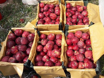 فروش سیب درجه یک مراغه
